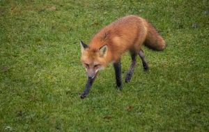 Red Fox 5 by Nini1965