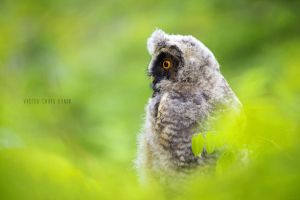 long-eared owl by Vic-R
