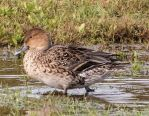 Pintail Duck 001 by Elluka-brendmer