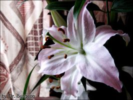 Lily Series - Touch of Pink I by doctor-surgeon