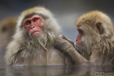 Grooming Japanese Macaques by willbl
