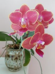 Pink Orchid by Lesh4537