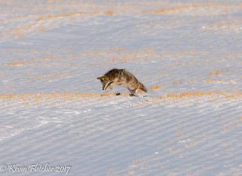 Coyote hunting voles by sgt-slaughter