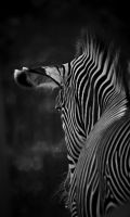 Zebra in Black and White by Caitiekabob
