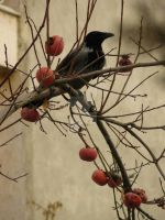 crow... by HOTPEN