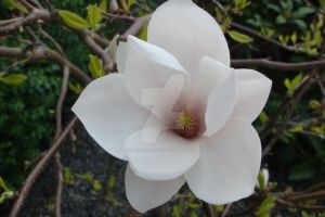Tulipan Tree Magnolie by darkness-angel