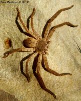 Huntsman Spider II by BreeSpawn