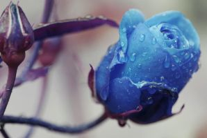 Blue Rose by eyespydesigns