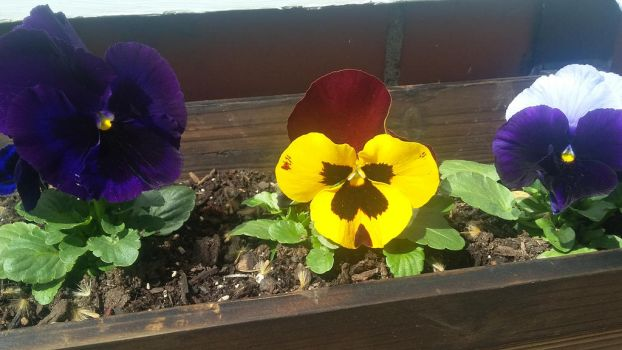 Close-up Pansies by SharkGirl15