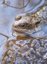 Frog and Spawn 02 by Axy-stock