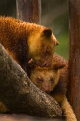 Goodfellow's Tree Kangaroo by KarlDawson