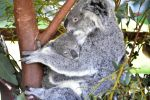 Koala and Baby by GrahamBuffinton