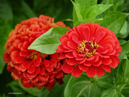 Red zinnias in the garden by Mogrianne