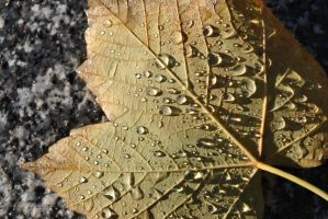 After Rain Leaf by jjsms