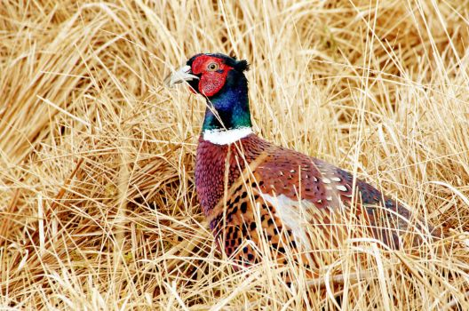 Friendly Pheasant. by MaresaSinclair