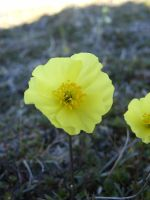 yellow flower 1 by Arctic-Stock