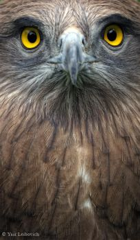 intense eagle by Yair-Leibovich