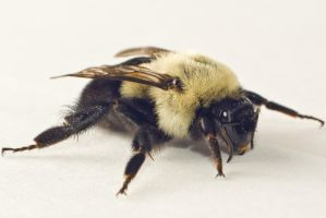 Fluffy Bumble bee 02 by Sirusdark