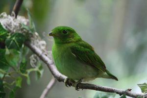 Female Lesser green broadbill by MegMarcinkus