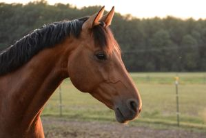 Bay Horse in Summerlight Portrait Stock by LuDa-Stock