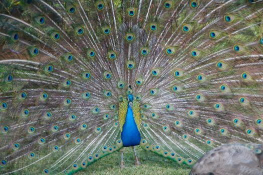 Peacock by midjetville