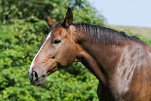 Bay Mare on Pasture Portrait 12 by LuDa-Stock