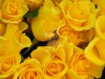 Yellow Roses by amitm123