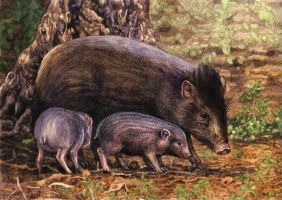 Pygmy Hogs by WillemSvdMerwe