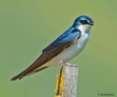 Swallow Study Two by TerribleTer
