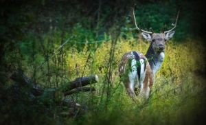 Fallow Deer II by MoonKey19