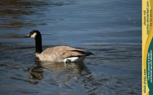 Canadian Goose 9 by RoonToo