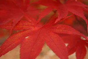 Red Maple 1 by Aquiose