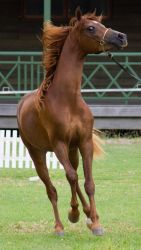 STOCK - TotR Arabians 2013-95 by fillyrox