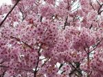 pink cherry flowers 1 by FubukiNoKo