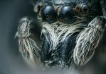 Jumping Spider II by borda