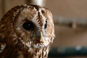 Tawny Owl by aCreature