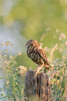 Anticipation _ Little Owl Staring At Its Prey by thrumyeye