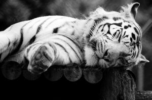 White Tiger by JaymeeLS