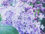 Lilac by Silvia-Pp