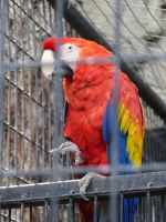 Scarlet Macaw by Hestia-Edwards