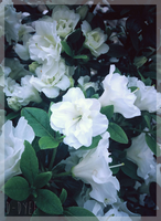 <b>White Japanese Rhododendron</b><br><i>D-Dyee</i>