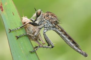 Robberfly with prey by melvynyeo