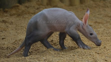Its An Aardvark Life For Us. by Rabid-Coot