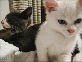 Foster Kittens Lexy and Pansy4 by CandaceIsVampire