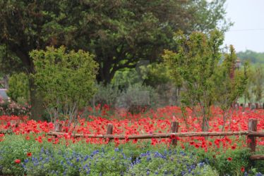 Fredericksburg Flowers by tiffanylayne