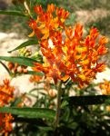 Butterfly Weed by Tails-155