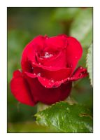 Red Rose by Frostola