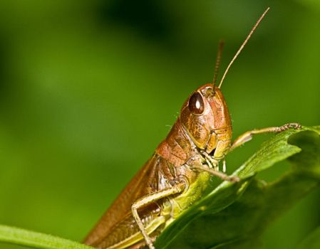 Grasshopper by artfoto