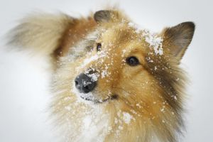 Sheltie in the snow.. by LocoMrk