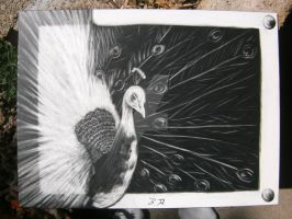 Peacock Scratchboard 2 by bluetidus13